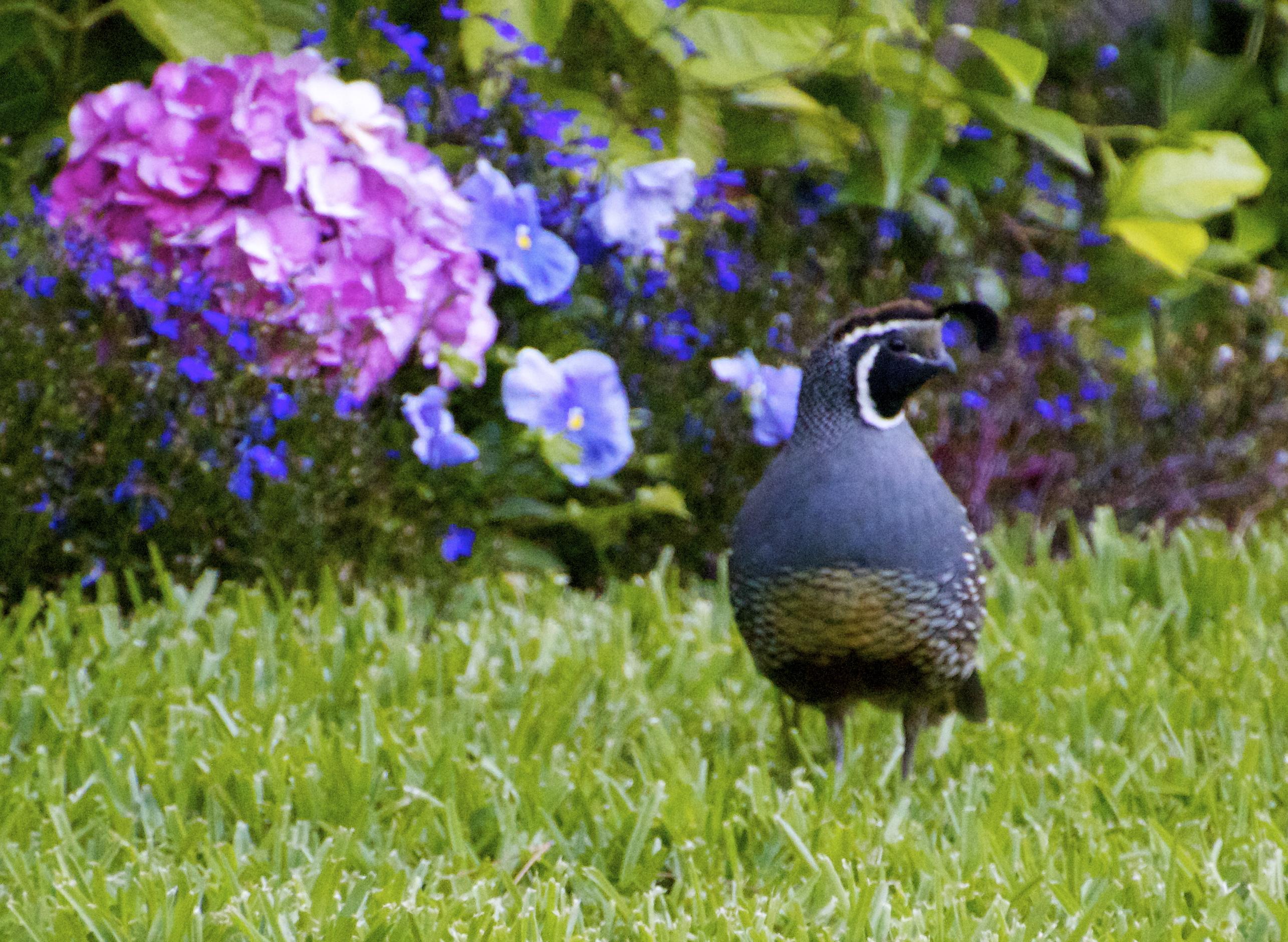 backyard quail featured in saqa june online gallery