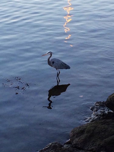 Photo of Great Blue Heron in pond